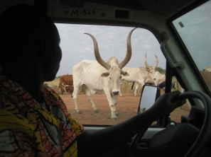 The hard currency of South Sudan: Cows
